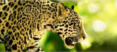 Image of big cat showing 4K picture detail