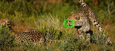 Image of two cheetahs with an AF frame superimposed over part of the face of one of the animals