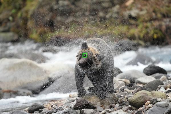 A bear with an AF frame on its eye