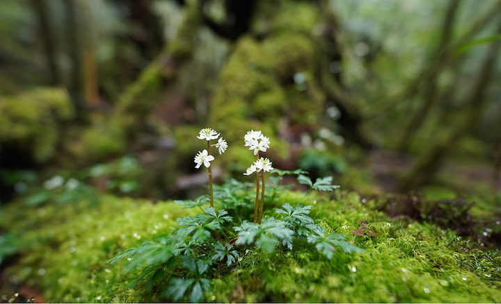 Image of a small flower on a rock in the forest, in focus, with a large blur in front and behind